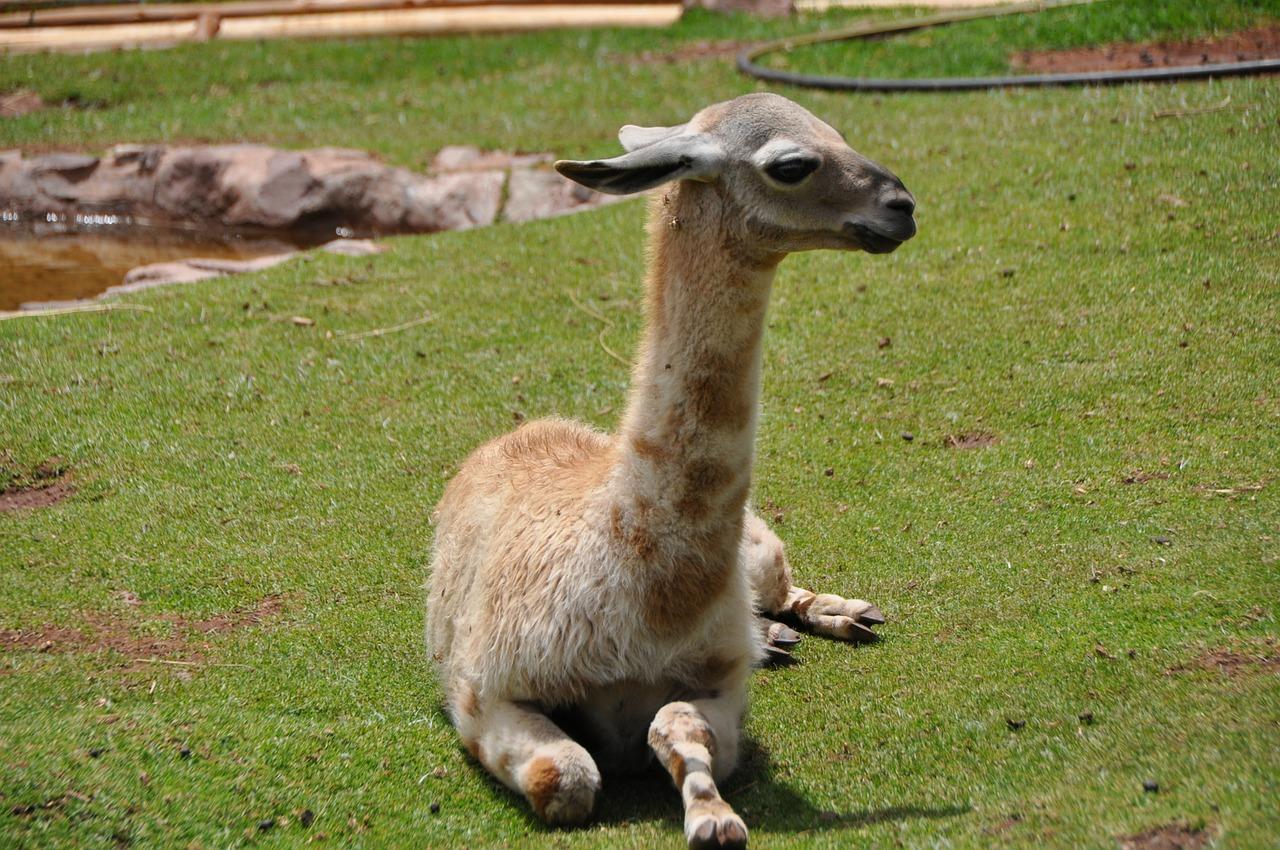 Lamafohlen wiegen bei der Geburt 15 - 20 Kilogramm. | Foto: ideasam - pixabay.com