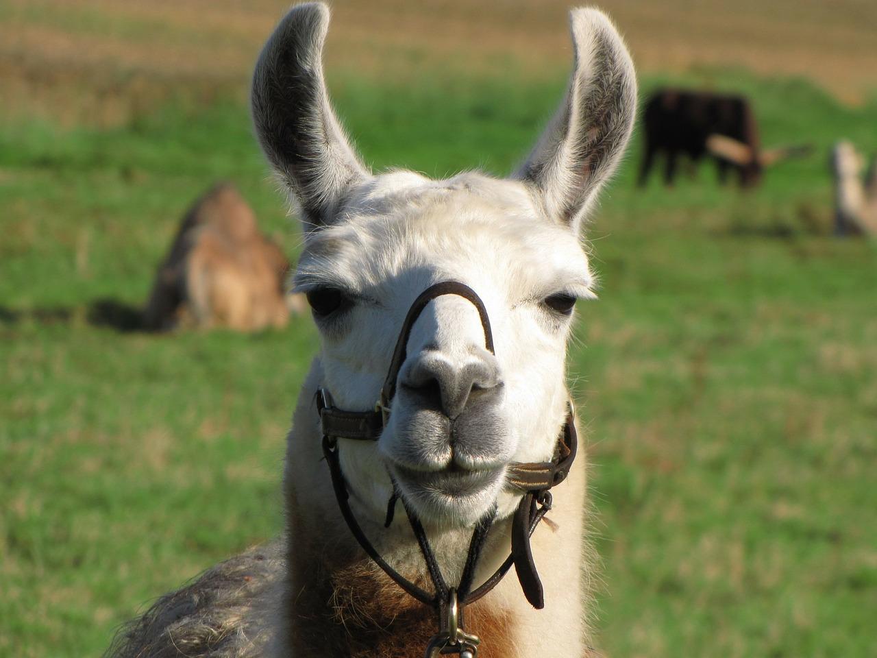 Lamas werden mittlerweile auch bei uns als Nutztiere gehalten. |Foto: ©PublicDomainPictures/pixabay