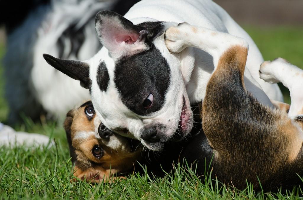 Französische Bulldoggen spielen und raufen sehr körperbetont, jedoch immer freundlich. | Foto: ©825545 - pixabay.com