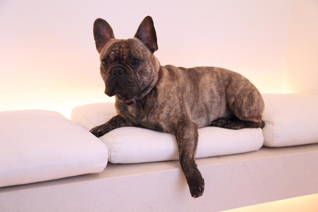 Französische Bulldoggen sind - anders als ihr Ruf lautet - keine Couchpotatoes. |Foto: Nicolas de Camaret - flickr.com