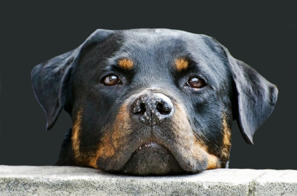 Rottweiler gelten nicht in jedem Bundesland als Listenhund. | Foto: 18053 - Pixabay.com