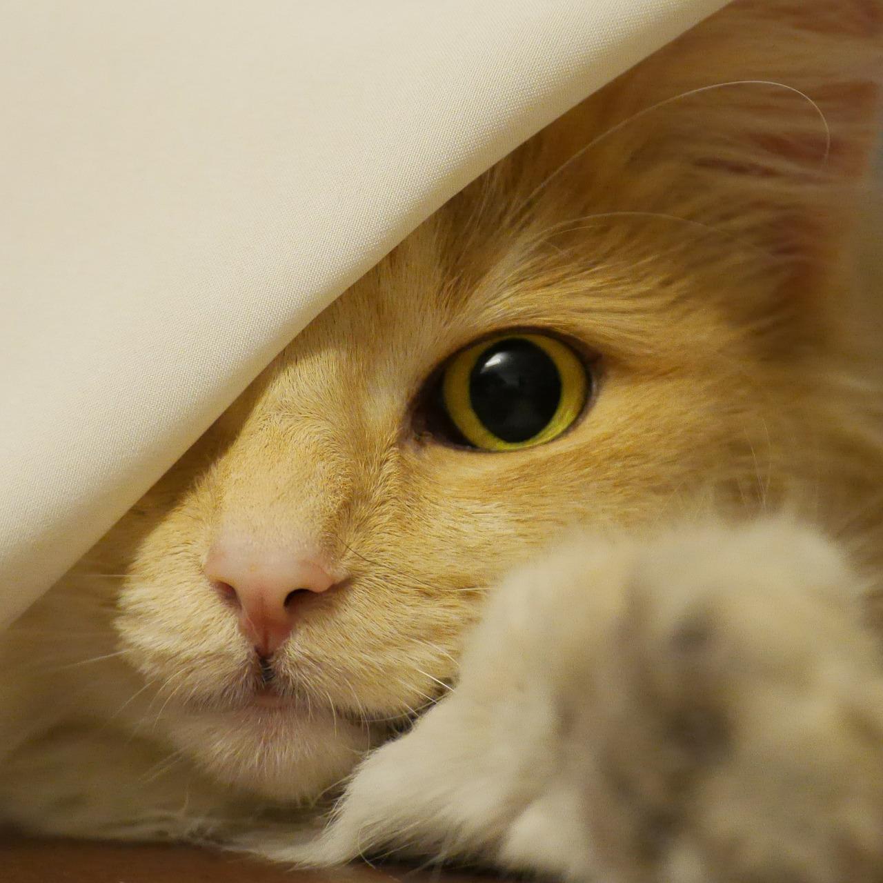 Um dreifarbige Katzen zhu bekommen, braucht es ein rotes Elterntier. |Foto: Thomaspedrazzoli - pixabay.com
