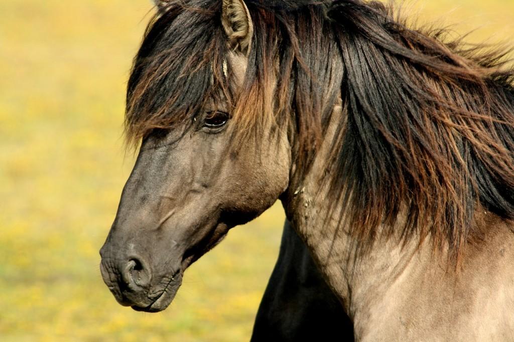 Eine artgerechte Pferdehaltung kann Hufrehen vorbeugen. | Foto: ©Guillermoleconde - pixabay.com