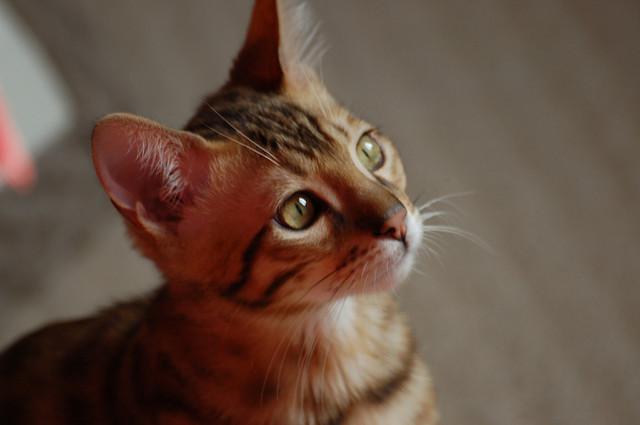 So ein Bengal-Kitten von einem seriösen Züchter kann manchmal mmit mehr als 1.200 Euro zu Buche schlagen. Foto: Roberto Shabs - flickr.com